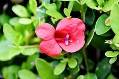 O close up da flor floresceu em meu jardim fotografia de stock royalty free