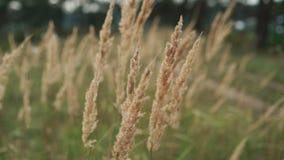 O close-up da grama selvagem bonita acena no vento no campo 4K filme
