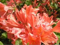 O close-up da laranja floresce a azálea de Mollis fotografia de stock