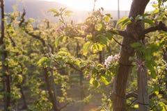 O close-up da maçã cor-de-rosa floresce começo a abrir no ramo de árvore no pomar na mola imagens de stock