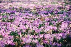 O close up da mola dos açafrões floresce na floresta Imagens de Stock Royalty Free