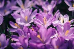 O close up da mola dos açafrões floresce na floresta Imagem de Stock Royalty Free