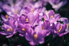 O close up da mola dos açafrões floresce na floresta Imagens de Stock