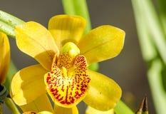 O close-up da orquídea bonita de Phalaenosis do amarelo da flor com água deixa cair DOF raso Fotografia de Stock