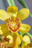 O close-up da orquídea bonita de Phalaenosis do amarelo da flor com água deixa cair DOF raso Fotografia de Stock Royalty Free