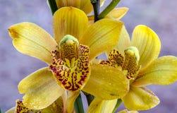 O close-up da orquídea bonita de Phalaenosis do amarelo da flor com água deixa cair DOF raso Foto de Stock Royalty Free