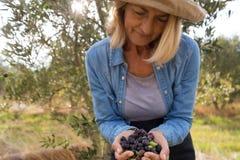O close-up da terra arrendada da mulher colheu azeitonas na exploração agrícola Fotografia de Stock Royalty Free