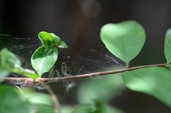 O close up da Web de aranha no ramo da planta imagem de stock royalty free