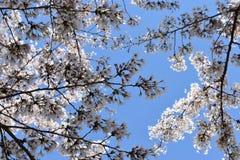 O close up das flores de cerejeira brancas bonitas fotografou de baixo dentro de um parque em Washington D C nos EUA fotografia de stock royalty free