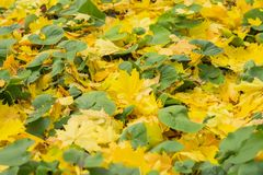 O close-up das folhas coloridas caídas do amarelo do outono do bordo na grama verde, outono veio Muitos folha caída estações Fotografia de Stock