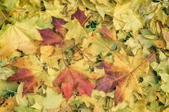 O close-up das folhas de outono coloridas caídas do bordo na grama, outono veio estações Estilizado como o estilo velho do vintag Fotografia de Stock Royalty Free