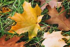 O close-up das folhas de outono coloridas primeiramente caídas do bordo, carvalho na grama verde, outono veio foto de stock
