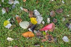 O close-up das folhas de outono coloridas primeiramente caídas de raças e de cores diferentes na grama verde, outono veio moderno imagens de stock