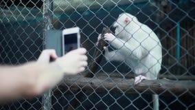 O close-up das mãos do ` s do homem está tomando uma foto com smartphone de um macaco branco pequeno no jardim zoológico 1920x108 filme
