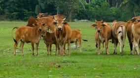 O close-up das vacas alimenta em um pasto verde bonito na mola filme