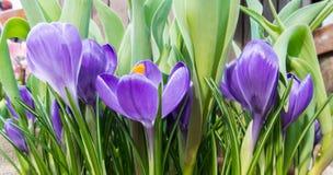 O close-up de açafrões violetas e brancos vibrantes luxúrias e de tulipas verdes sae na estufa Imagem de Stock