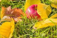 O close-up de Apple entre o amarelo sae na grama Fotografia de Stock