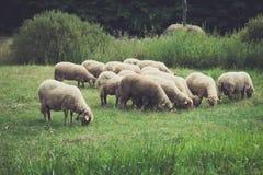 O close up de carneiros pequenos reune a pastagem no prado Fotos de Stock