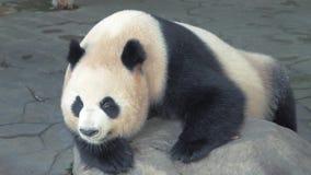O close-up de descansar o urso de panda gigante, panda dorme na pedra no jardim zoológico no dia quente vídeos de arquivo