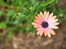O close up de flores cor-de-rosa com verde sae no jardim da borboleta em Santa Barbara Califórnia Lente macro com bokeh para as b Fotografia de Stock Royalty Free