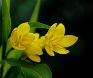O close-up de flores do açafrão de Ancara Imagem de Stock