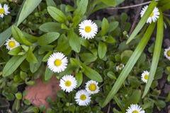 O close-up de margaridas frescas brilhantes bonitas do campo com as pétalas brancas macias e o coração amarelo que florescem entr imagem de stock royalty free