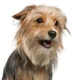 O Close-up de Misturado-produz o cão, 12 meses velho Imagem de Stock