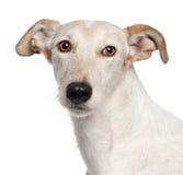 O Close-up de Misturado-produz o cão, 6 anos velho Fotos de Stock