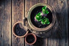 O close up de plantar a mola floresce com solo escuro fértil fotos de stock royalty free