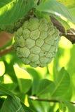 O close up de Sugar Apple ou o creme Apple frutificam Foto de Stock Royalty Free