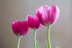O close up de três tulipas cor-de-rosa vibrantes iluminou-se pela luz natural no pla Fotografia de Stock