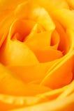 O close up de um amarelo levantou-se Imagem de Stock