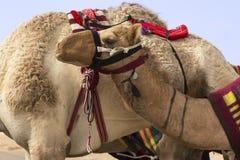 O close-up de um camelo selou acima pronto para competir imagens de stock