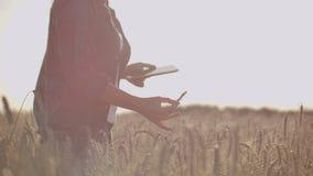 O close-up de um fazendeiro da mulher que anda com uma tabuleta em um campo com centeio toca nos spikelets e pressiona seu dedo n video estoque