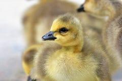 O close up de um Gosling foto de stock royalty free