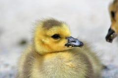 O close up de um Gosling imagens de stock royalty free