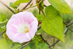 O close-up de um Ipomoea de florescência alba, chamou geralmente Moonflower fotos de stock royalty free
