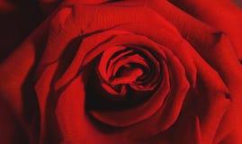 O Close-up de um vermelho levantou-se Fotos de Stock