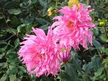 O close-up de uma dália do rosa floresce e brota fotografia de stock royalty free