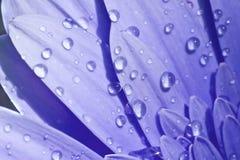 O Close-up de uma flor azul com água deixa cair Imagem de Stock Royalty Free