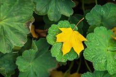 O close-up de uma folha caída primeiro amarelo do outono na grama verde com manhã brilhante deixa cair O outono veio moderno Imagem de Stock