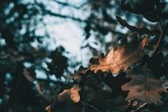 O close-up de uma folha isolada do carvalho iluminou imagens de stock