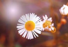 O close up de uma margarida amarela e branca bonita floresce no fundo verde da natureza Foto de Stock Royalty Free