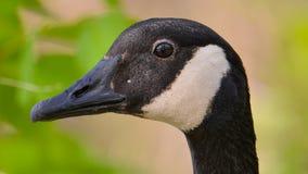 O close up detalhou o retrato de um ganso de Canadá com um fundo colorido/bokeh verdes e bronzeados - tomado na natureza de madei fotografia de stock royalty free