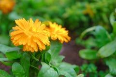 O close-up disparou de cravos-de-defunto ingleses com orvalho em um jardim no m Foto de Stock Royalty Free