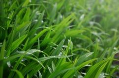 O close-up disparou de hastes gramíneas densas com gotas de orvalho Tiro macro da grama molhada como a imagem de fundo para o con fotos de stock
