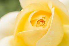 O close up do amarelo levantou-se em um jardim Fotos de Stock