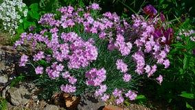O close up do arbusto do cravo-da-índia cor-de-rosa dos cravos japonicus Imagens de Stock