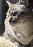 O close up do azul eyed o gato que senta-se no assoalho Foto de Stock Royalty Free