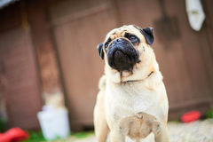 O close up do cachorrinho do pug Foto de Stock Royalty Free